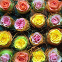 Rosenpracht fürs Sommerfest