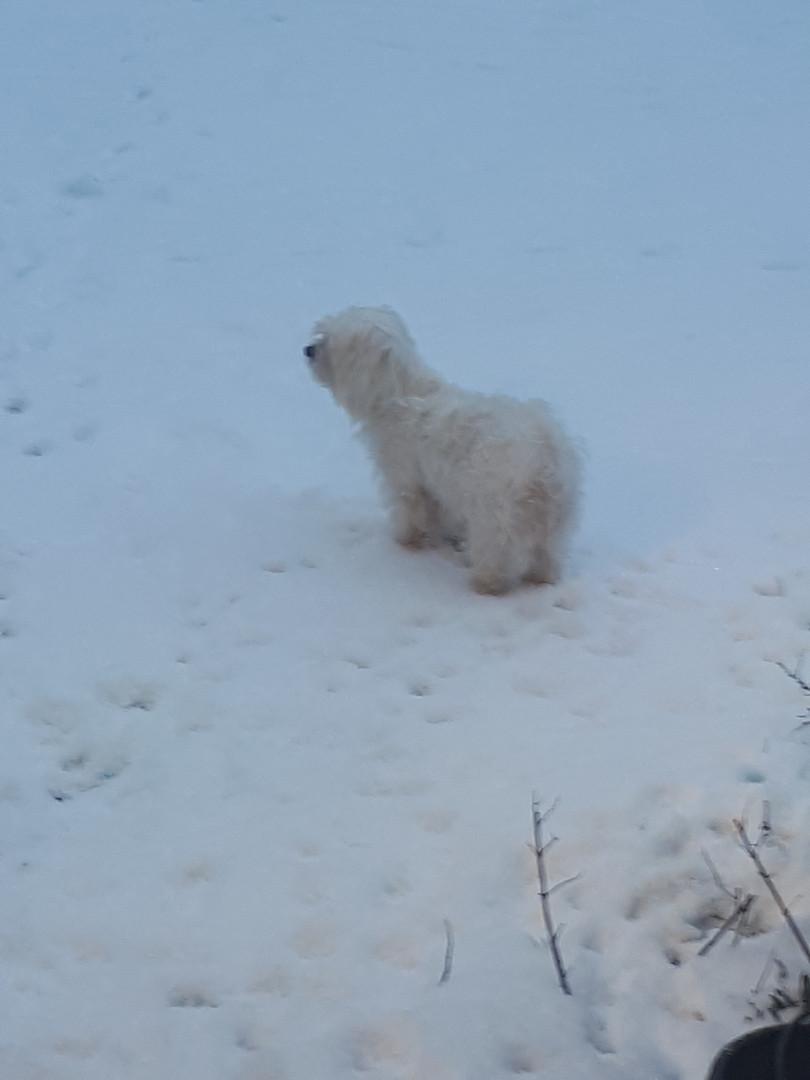 Maltese in the snow