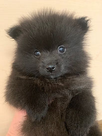 female pom from Anna.jpg