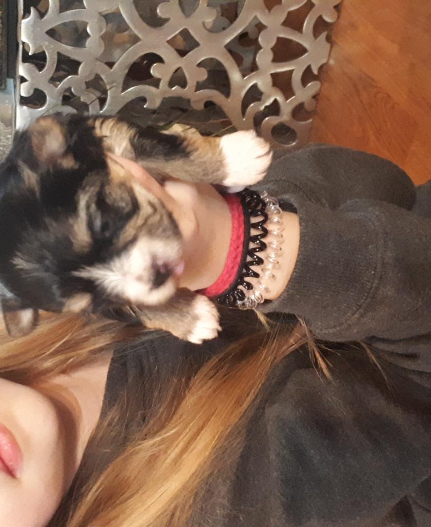 Female Morkie Puppy