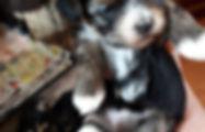 Yorkie & Maltese puppies