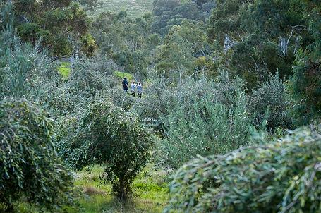 Paradiso australia garden of eden olive grove