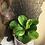 """Thumbnail: Peperomia Obtusfolia 4"""""""