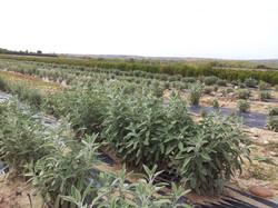 Plantación de Salvia