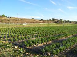 Plantación de Romero