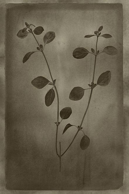 Officina Magicae No2-Origanum vulgare_12