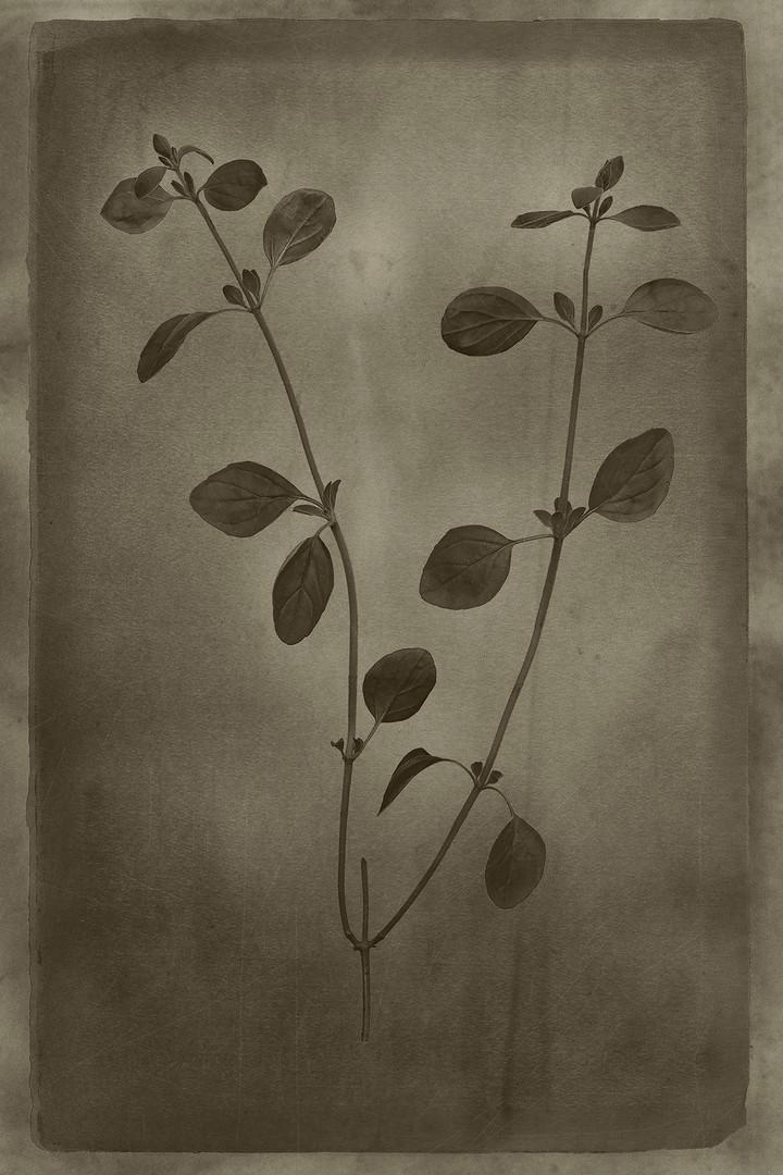 Officina Magicae No.2: Origanum vulgare