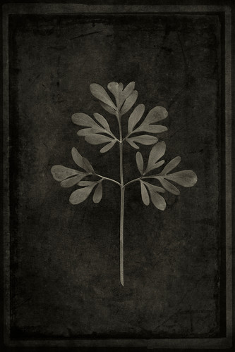 Officina Magicae No.6: Ruta graveolens