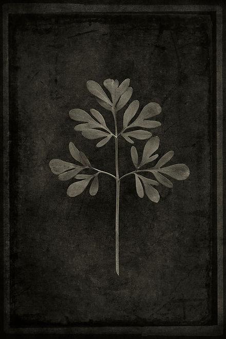 Officina Magicae No6 - Ruta graveolens_1