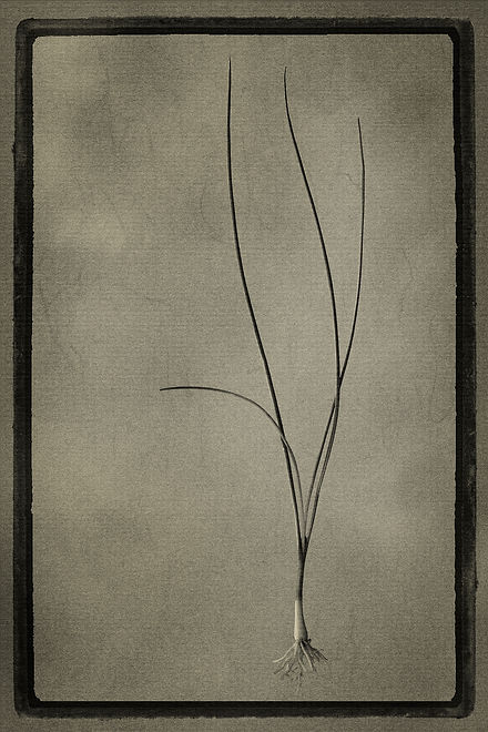 Officina Magicae No4 - Allium schoenopra