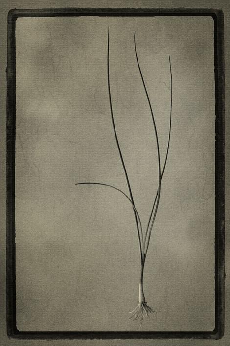 Officina Magicae No.4: Allium schoenoprasum