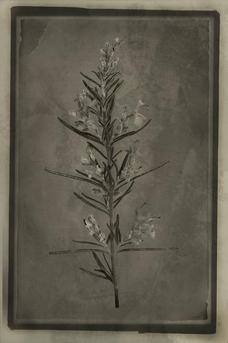 Officina Magicae No.1: Rosemary (Rosmarinus officinalis)