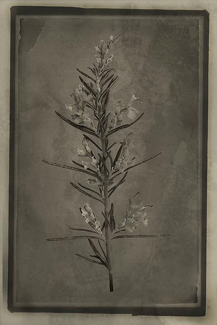 Officina Magicae No1-Rosmarinus officina