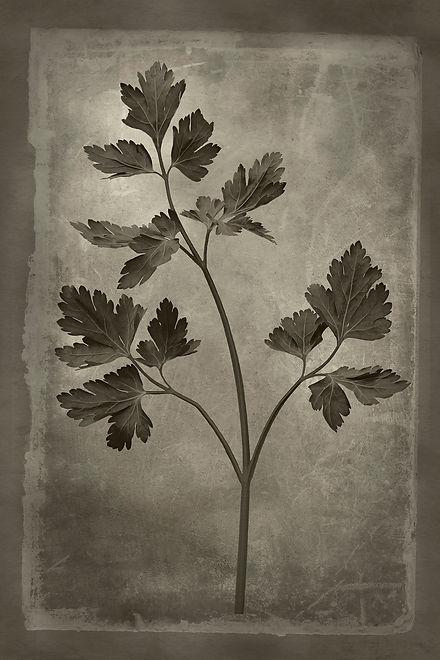 Officina Magicae No8-Petroselinum crispu