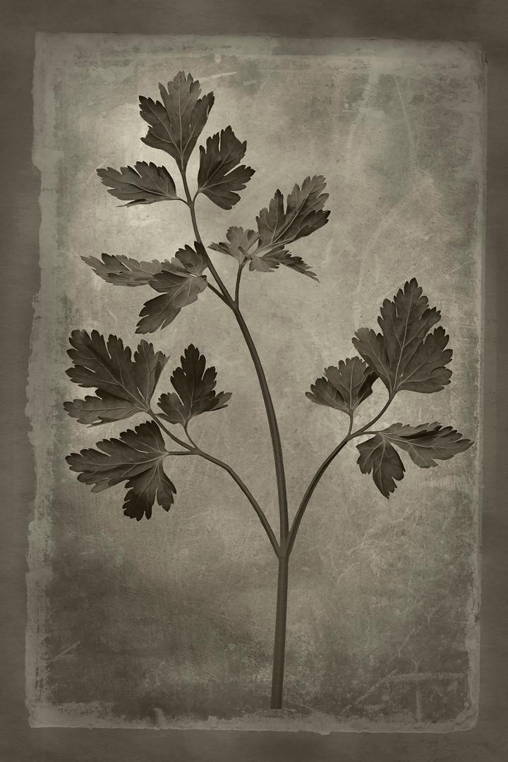 Officina Magicae No.8: Petroselinum crispum