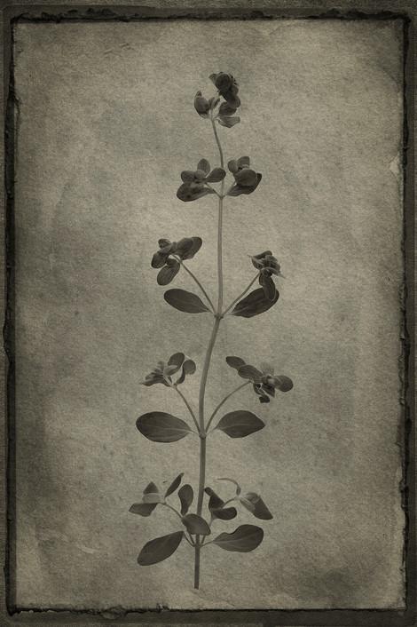 Officina Magicae No.5: Origanum majorana