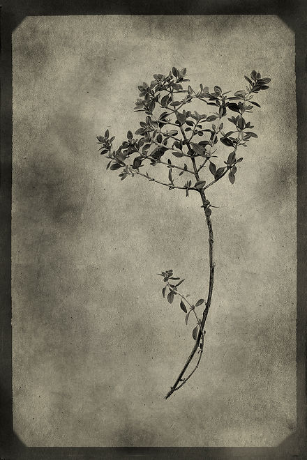 Officina Magicae No3-Thymus vulgaris_120