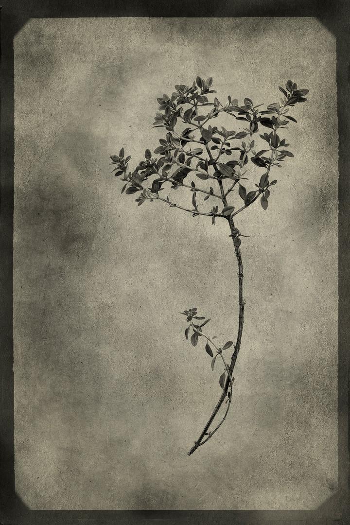 Officina Magicae No.3: Thymus vulgaris