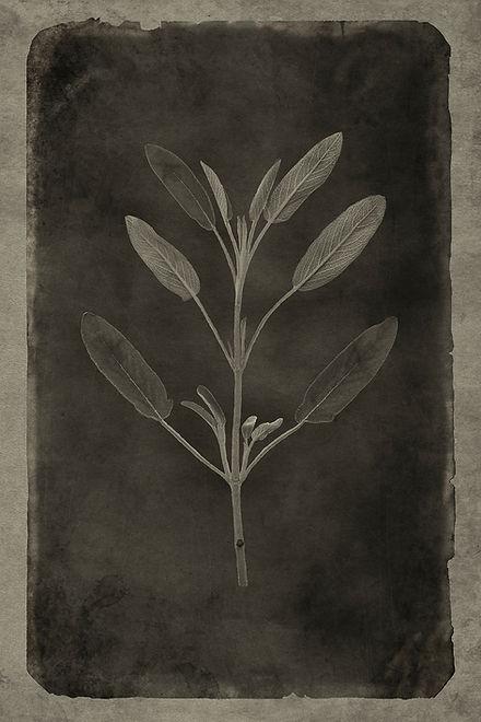 Officina Magicae No9-Salvia officinalis_