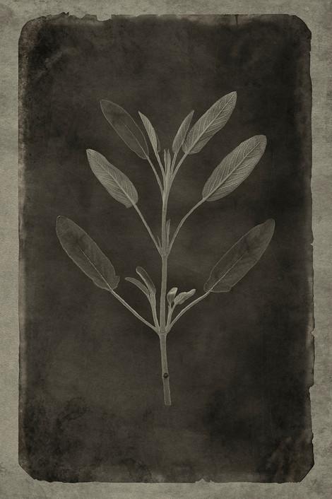 Officina Magicae No.9: Salvia officinalis