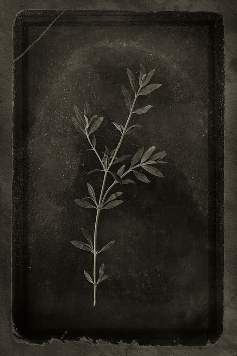 Officina Magicae No.11: Hyssopus officinalis
