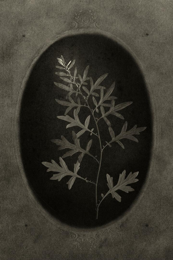 Officina Magicae No.12: Artemisia vulgaris