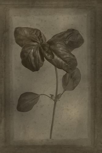 Officina Magicae No.7: Ocimum basilicum