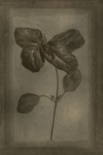 Officina Magicae No7-Ocimum basilicum_12