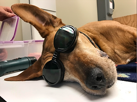 Laser Therapy for Dogs in Gainesville