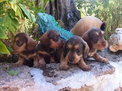 Cachorros de teckel