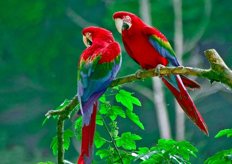 papagayo rojo1.jpg