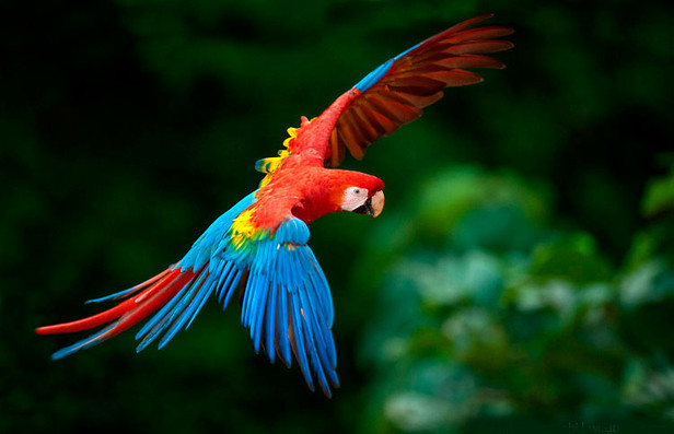 papagayo rojo.jpg