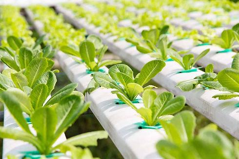 leafy greens in a hydroponic farm