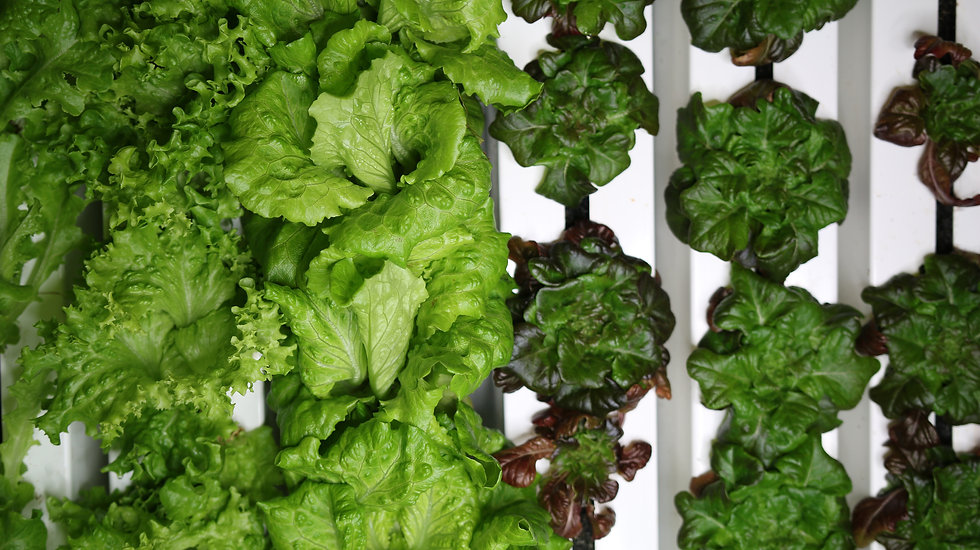 organic lettuces in a hydroponic farm