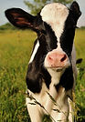 holstein calf.jpg