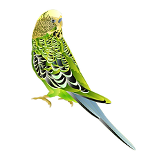 Budgie.png