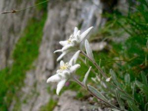 Edelweiss! Photo: Brett Milliken
