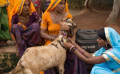 Goat livelihoods