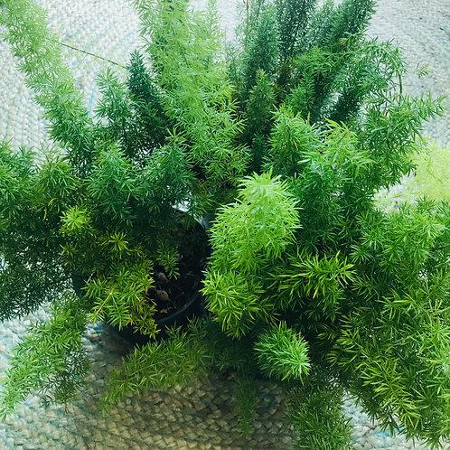 "6""pot Asparagus Fern"