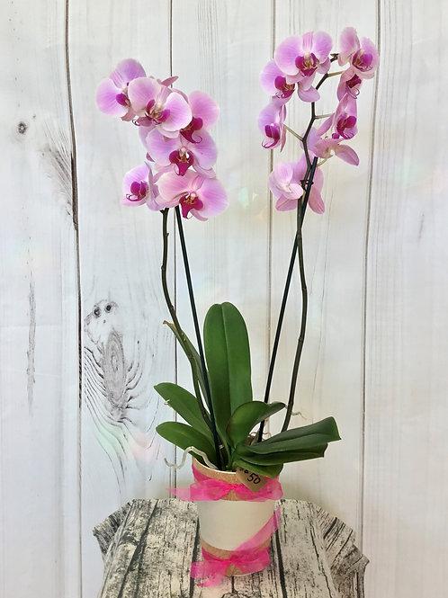 Simple and Elegant Orchid