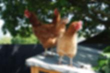 Resident hens