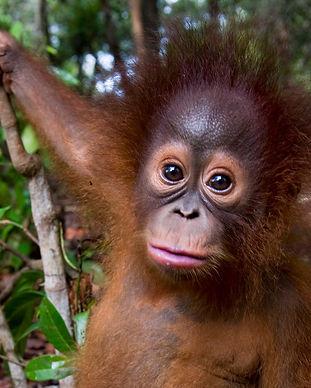 orangutang1.jpg
