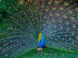 Peacock-Photo