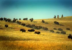 Buffalo-Photo