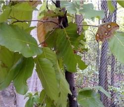 mulberry leaves.jpg