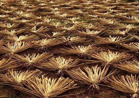 drying water hyacinth roots.jpg
