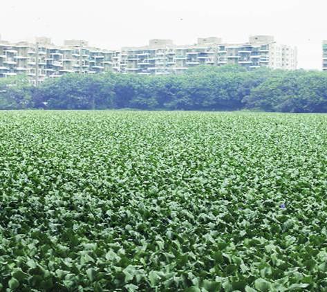 hyacinth-1.jpg