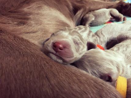 weimaraner puppy longhair