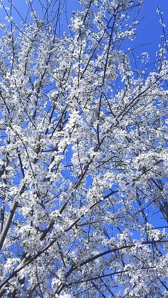Prunus%20bloesem_edited.jpg