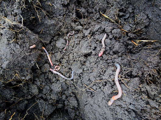 wormen.jpeg